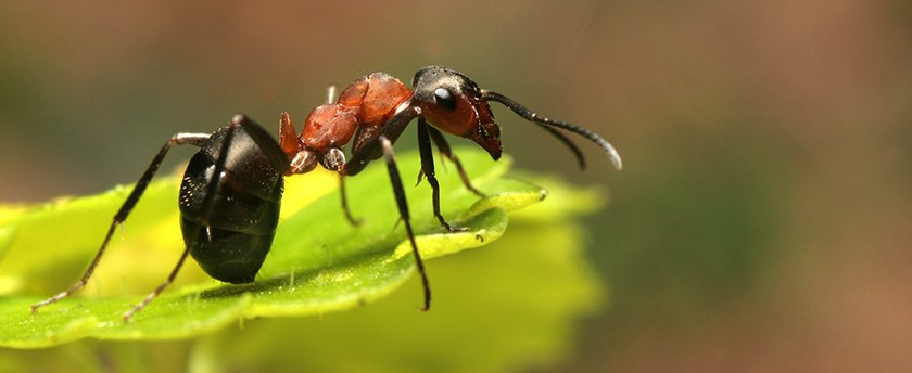 A black and red ant standing on top of a bright green leave
