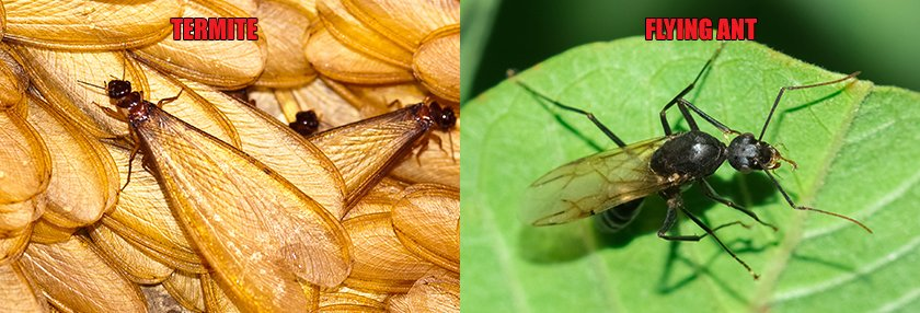 A side by side comparison of a termite and a flying ant